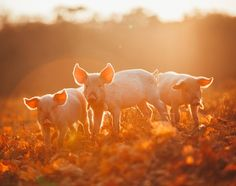 Just 8 Impossibly Cute Pictures of Farmed Animals Celebrating Fall - ChooseVeg.com