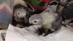 African Grey Parrot Baby African Grey Parrot, Pretty Birds, Cockatoo, Bird Watching, Bird Feathers, Cute Animals, Parrots, Congo, Pets
