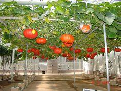 hydroponics.