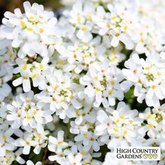 Iberis sempervirens Purity/Purity Dwarf Candytuft