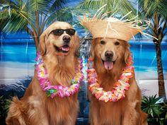Golden Retriever's Vacation, via Flickr.