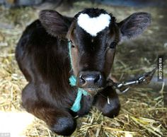 White heart on baby cow... he would be my love bug!