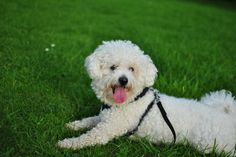 11 Fluffy Facts About the Bichon Frise | Mental Floss