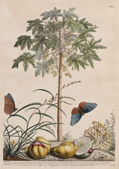 Papaya, Chickweed and Millet Grass (published 1748) by Georg Dionysus Ehret (1708–1770).  Image and text courtesy MFA Boston.