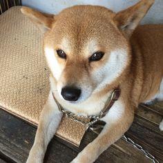 近所の飼い犬、「さくら」です(=^x^=)