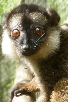A White Collared Lemur, one of the rarest primates in the world, born at Linton Zoo.