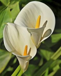 Zantedeschia Hybrids—Growing Calla Lily Indoors