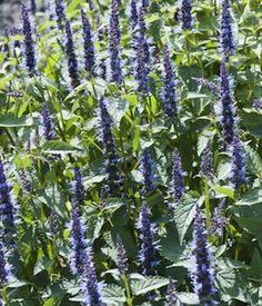 Astello Indigo agastache seeds. Long-lasting deep blue flower spikes all summer. Perennial plants flower first year.