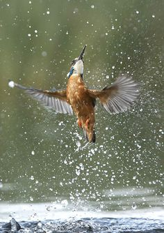 Erupting Kingfisher by Anthony House Photography