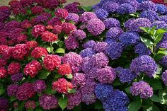 How To Change The Color Of Hydrangea Flowers I love color and I love it because I know what it is to live without it for months on end as all Nebraskans know. So during those few months where color grows straight out of your garden, why not have some power in deciding exactly which color will shine in the summer sun. To achieve the color palette of your dreams, you'll need a garden filled with hydrangea macrophylla also known as mopheads and lacecaps or just commonly known as Hydrangeas…