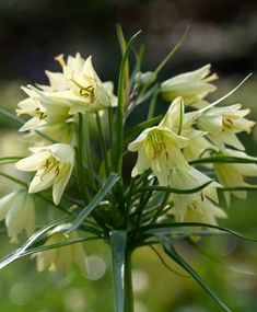 Fritillaria raddeana - Fritillaria - Flower Bulb Index Light Bulb Plant, Colored Light Bulbs, Planting Bulbs, Bulb Flowers, Growing Plants, Yellow Flowers, Bloom, Zone 5, Delicate