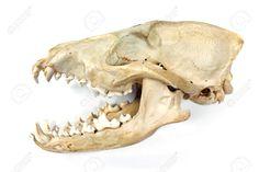 Kuvahaun tulos haulle canine skull