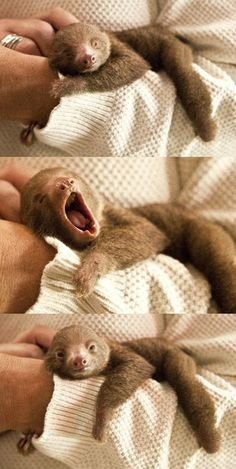 Funny pictures about Baby sloth yawning. Oh, and cool pics about Baby sloth yawning. Also, Baby sloth yawning. Baby Animals Super Cute, Cute Little Animals, Cute Funny Animals, Funny Cats, Cute Baby Sloths, Cute Sloth, Baby Otters, Baby Animals Pictures, Cute Animal Pictures