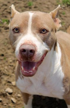 Meet Buster Brown, a Petfinder adoptable Pit Bull Terrier Dog | Memphis, TN | Buster Brown is a good boy, but he wants to be an only child. You see, he's just a little spoiled....