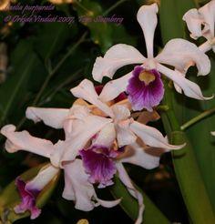 orkide: Laelia purpurata