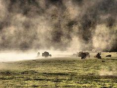 Buffalo Herd In Yellowstone