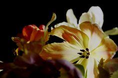 Blick in die geöffnete Tulpenblüte