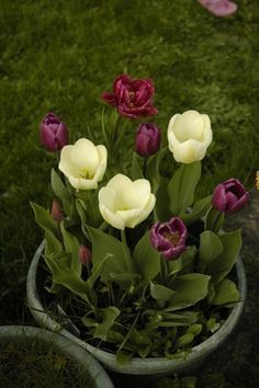 Care Of Tulip Bulbs In Containers In The Winter
