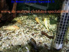 pterygoplichthys gibbiceps albino