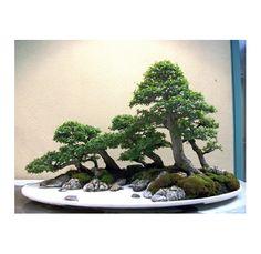 Pacific Rim Bonsai Collection, Weyerhaeuser, Federal Way, Washington