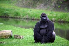silver-back-gorilla-at-burgers-zoo-picture-id148668262 (507×338)