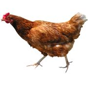 Chicken PNG Images On this site you can download free Chicken PNG image with transparent background.