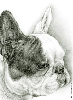 French Bulldog by Alexander Khomenko