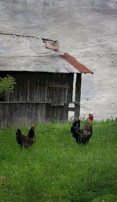 Chickens by an old damaged barn