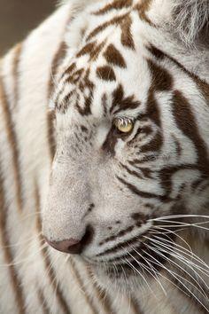 White Tigress - byIsfaaq Caunhye