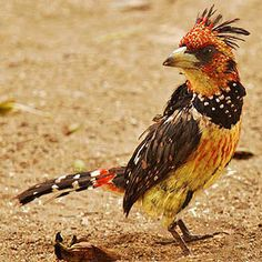 The Crested Barbet (Trachyphonus vaillantii) is a sub-Saharan bird in the Lybiidae family. They are found singly or in pairs. They like to bounce around on the ground looking for food. The Crested Barbet feeds on insects, other birds' eggs and fruits. Kinds Of Birds, All Birds, Birds Of Prey, Love Birds, Most Beautiful Birds, Pretty Birds, Beautiful Butterflies, South African Birds, Crazy Bird