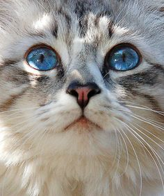A Quieter Storm cute cat and kittens Pretty Cats, Beautiful Cats, Animals Beautiful, Pretty Kitty, Gorgeous Eyes, Amazing Eyes, Animals And Pets, Baby Animals, Cute Animals