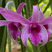 'Ponerorchis Graminifolia' — a cultivata varietas; miniature and most adorable orchid in the genus Ponerorchis. Hope you enjoy this orchid. Warmest gree... - Mrinalini Mazumder - Google+