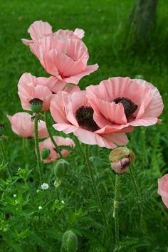 Poppies flower in June in the Hudson Valley. Learn more about Slow Flowers at www.festoononhuds...