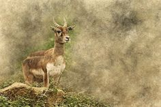 Antelope, Deer, Standing, Animal