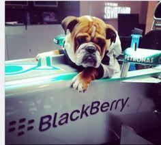 Roscoe Hamilton in the AMG Petronas Paddock British Bulldog, French Bulldog, Bulldog Images, Automobile, Motorsport Events, Bad Photos, Lewis Hamilton, Formula One, Best Funny Pictures