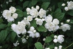 White flowers of the mock orange shrub.
