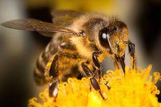 Mehiläinen – miten mehiläinen tekee hunajaa? | Tieteen Kuvalehti