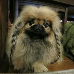 Pekingese with hair braids #pigtails #dog #pekingese   petpic.jp/pictures/5012947