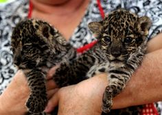 Scary but cuddly big cats : theCHIVE