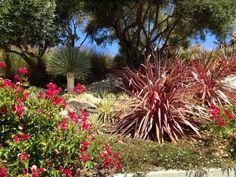 Hillside: Bouganvilla, Yucca rostrata, cordyline ('Electric Pink'), olive trees.