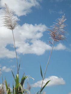 Sugar cane flowers in Mauritius