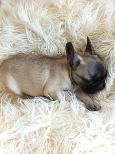 sweet Frenchie, French Bulldog Puppy