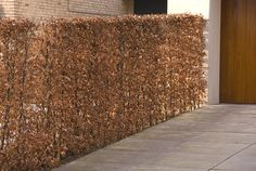 copper beech | fagus sylvatica in winter
