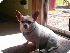 Crown Point, IN - Chihuahua. Meet Lacey-pearl a Dog for Adoption.