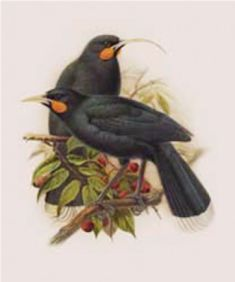 Print for sale of John Keulemans painting of male and female Huia birds. Originally published in Buller's Birds of New Zealand. Pretty Birds, Beautiful Birds, New Zealand Art, Nz Art, House By The Sea, Vintage Birds, Bird Prints, Bird Art, Vivid Colors