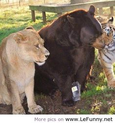 #BLT on Lefunny.net ~ cool Tiger, lion and bear form unusual friendship.