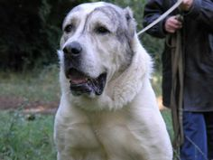 Image detail for -ALABAI Dog submited images | Pic 2 Fly