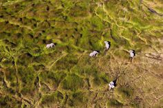 Éléphants d'Afrique dans la plaine inondable, Delta de l'Okavango, Botswana.