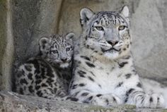 Snow leopard tails can grow to a meter long. The leopards use these tails to balance on slopes and wrap around themselves for warmth.