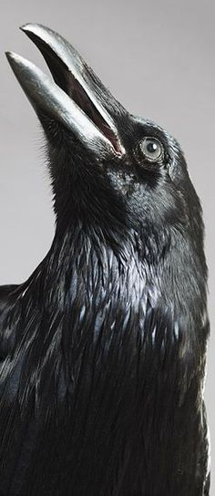 The raven is a big black bird, a member of the crow family. It is all black with a large bill, and long wings. The Crow, Beautiful Birds, Animals Beautiful, Beautiful Pictures, Tatoo Bird, Spirit Animal Totem, Jackdaw, Crows Ravens, Tier Fotos